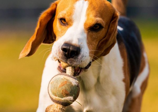 happy-beagle-dog-running-with-flying-ears-towards-BMK57U2-scaled.jpg